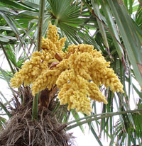 Windmill palm tree trachycarpus fortunei in the early summer windmill palm produces large plumes of yellow flowers on the male plants mightylinksfo