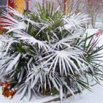 Top 10 Cold Hardy Palm Trees