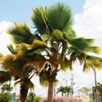 Top 10 Palm Tree Care Mistakes