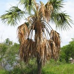 dying_palm_tree