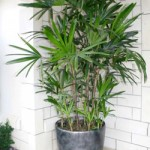 Transplanting Palm Tree to a Bigger Container