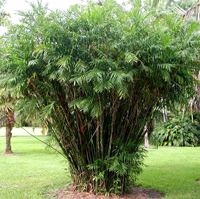 The Bamboo Palm Tree Scientific Name Chamaedorea Seifrizii Is A Small Graceful That Commonly Used In Landscapes And Indoor Decoration