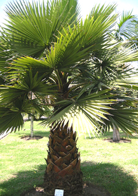 California Fan Palm Tree Washingtonia Filifera
