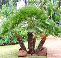 European Fan Palm Tree