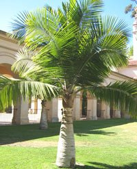 Majesty Palm Tree