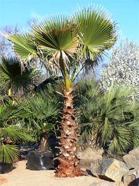 The Mexican Fan Palm Tree Scientific Name Washingtonia Robusta Is Very Por Indoor And Outdoor Because Of Its Striking Earance Cold