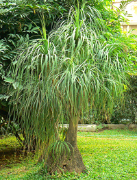 The Ponytail Palm Tree, scientific name Beaucarnea recurvata, is well-known  because of its stunning trunk that is greatly swollen at the base making  this ...