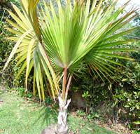 Red Latan Palm Tree