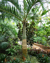 Spindle Palm Tree