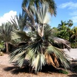 Cold Damaged Palm Tree Care