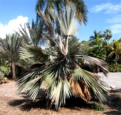 cold damaged palm1 Cold Damaged Palm Tree Care