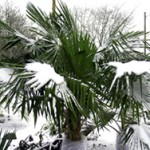 Quick Way to Protect Palm Trees from Cold