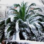 Secret to Growing Cold Hardy Palm Trees