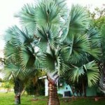 7 Tips for Minimizing Transplant Shock in Palm Trees