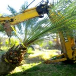 Transplanting Palm Tree From One Location to Another