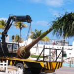 Top 10 Palm Tree Transplanting Mistakes