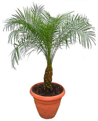 pygmy date palm1 Palm Trees For Sale
