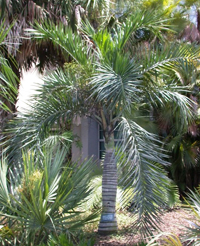 Beccaneer palm tree