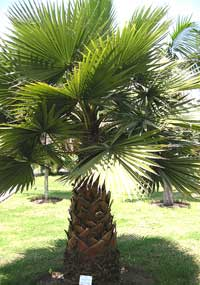 California Fan Palm Tree Washingtonia