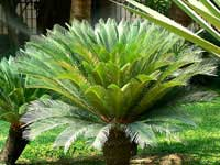 sago palm tree