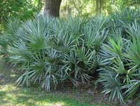 saw palmetto palm Palm Tree Pictures