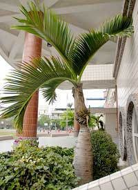 spindle palm tree Palm Tree Pictures