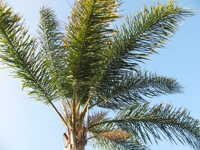 palm tree identificaiton How to Identify Palm Trees