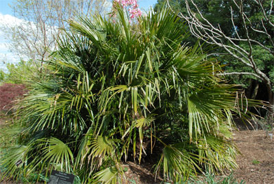 palm tree identificaiton2 How to Identify Palm Trees