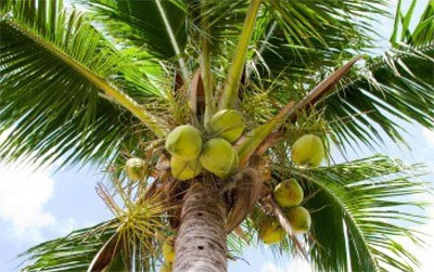 palm_tree_identificaiton4