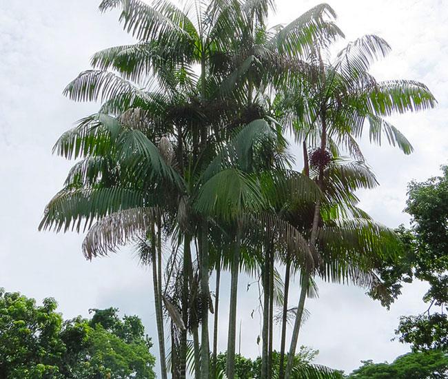 Acai Palm Tree (Euterpe oleracea)
