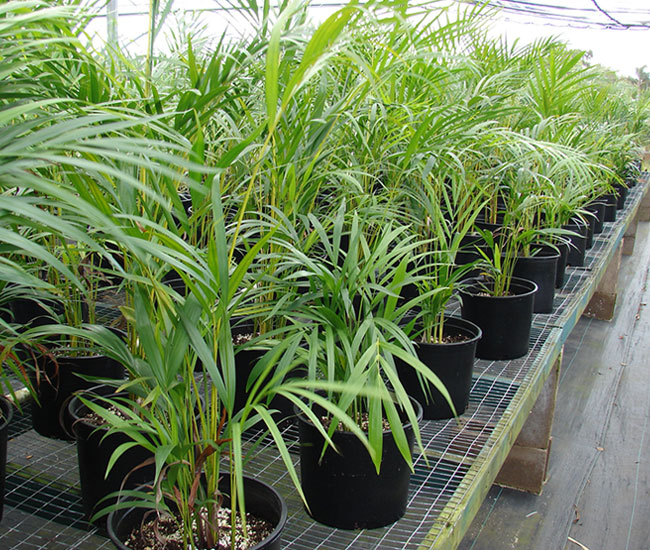 Young Areca Palm Trees (Chrysalidocarpus lutescens or Dypsis lutescens) at a nursery