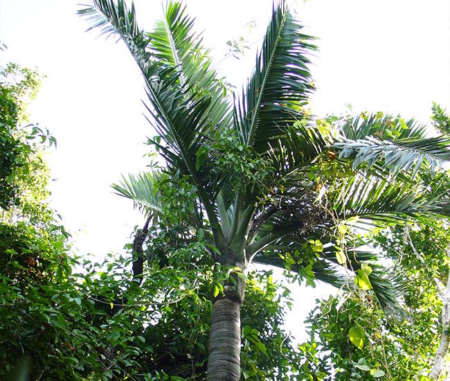 Buccaneer Palm Tree (Pseudophoenix sargentii)