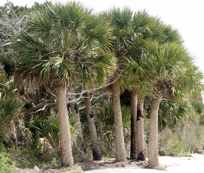 group of Cabbage Palm Trees (Sabal palmetto)