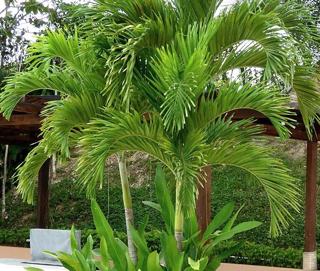 Christmas Palm Tree (Veitchia merrillii)