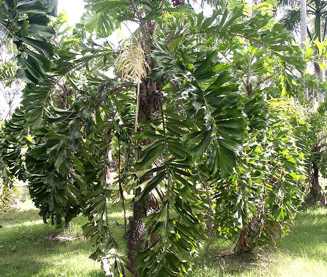 Coyure Palm Tree (Aiphanes horrida)