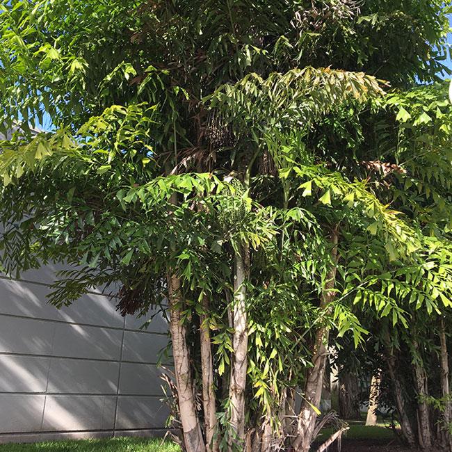 Fishtail Palm Tree (Caryota mitis)