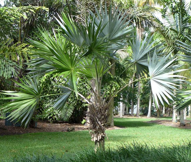 Key Thatch Palm Tree (Thrinax morrisii)