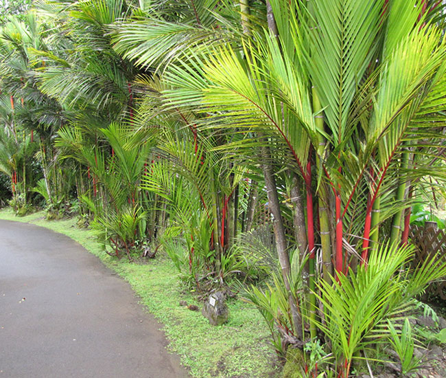 Privacy wall out of Lipstick Palm Trees (Cyrtostachys renda)