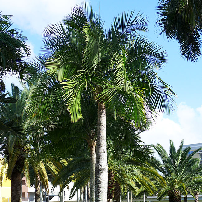 Majesty Palm Tree (Ravenea rivularis)