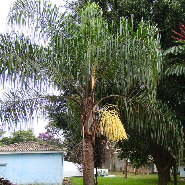 Queen Palm Tree (Syagrus romanzoffiana)