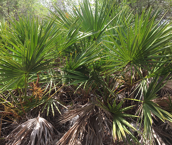 Saw Palmetto Palm Tree (Serenoa repens) that needs pruning.
