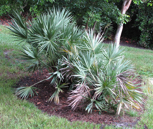 Large cluster of Saw Palmetto Palm Tree (Serenoa repens) with visible trunk.