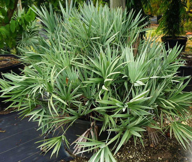 Saw Palmetto Palm Tree (Serenoa repens) in the container at a nursery.
