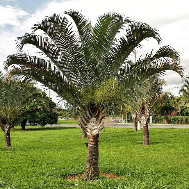 Triangle Palm Tree (Dypsis decaryi).