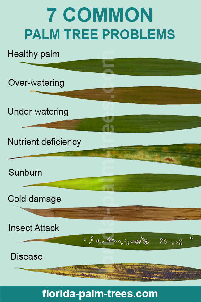 Pictures Of Sick Palm Tree Leaves.