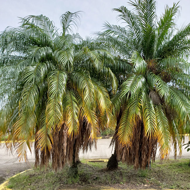 Pygmy Date Palm Trees (Phoenix roebelenii) with deficiencies of Magnesium (Mg) and Potassium (K).