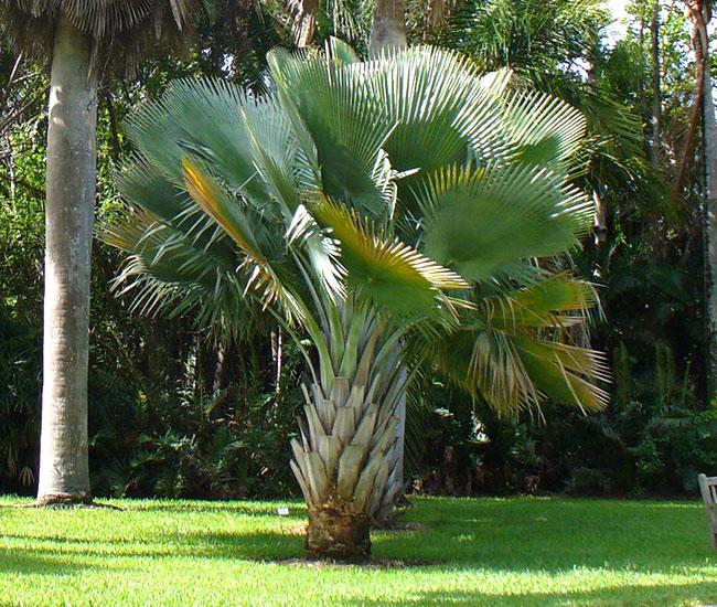 Bailey Copernicia Palm (Copernicia baileyana).