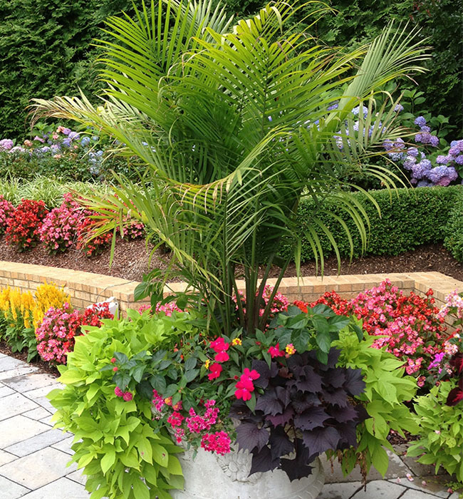 Picture of potted Majesty Palm together with colorful flowers and cascading plants.