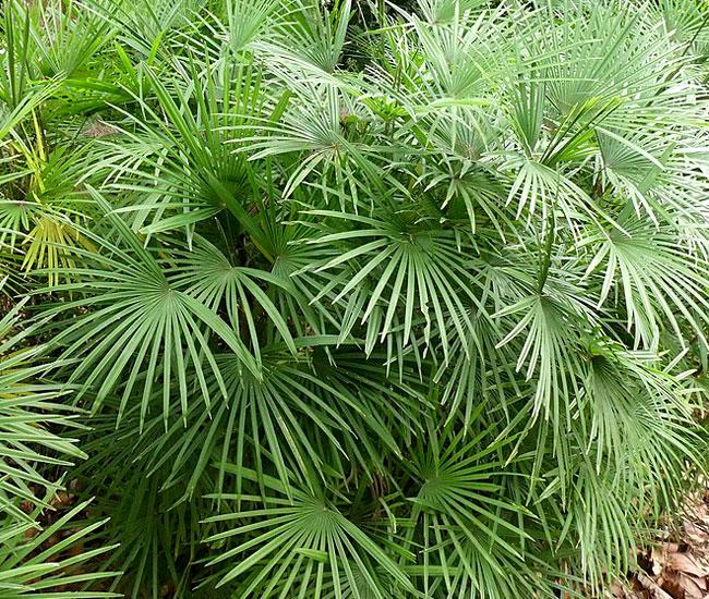 Jade Empress Palm Tree (Rhapis multifida). P