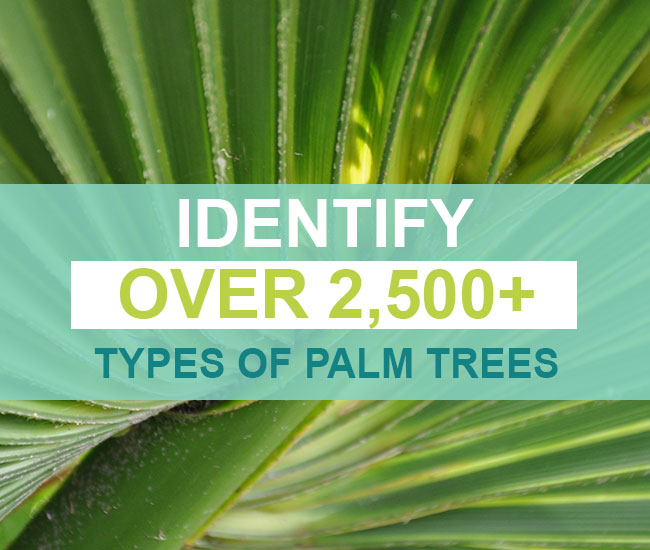 Identify Over 2,500+ Types Of Palm Trees